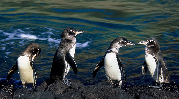 After a recovery of months 9 penguins suffering from malnutrition returned to the sea