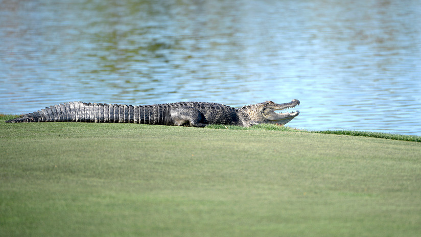 Alligator Crashes a Golf Tournament in Florida and Steals a Ball