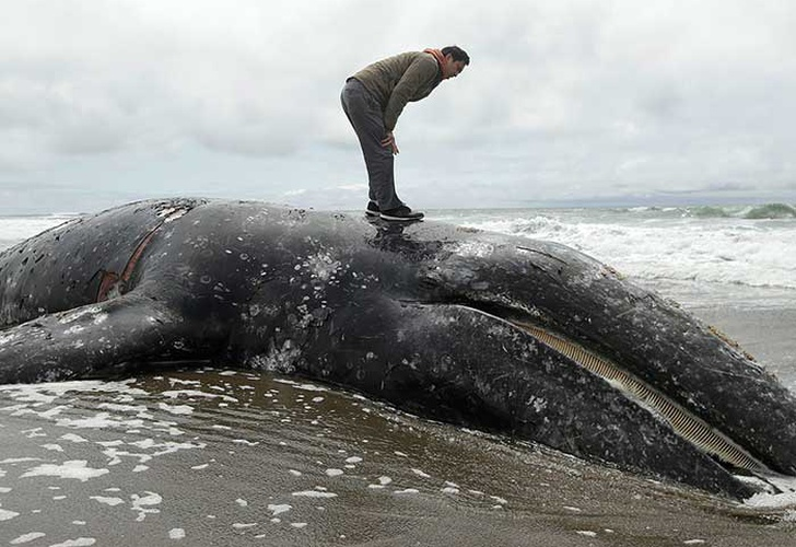 Another Dead Whale Found In San Francisco Bay