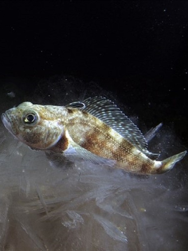 Deep Sea Fish Live Virtually Without Oxygen