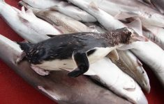 New Zealand Fisheries Want Grisly Images of Dead Penguins Caught in Nets Censored