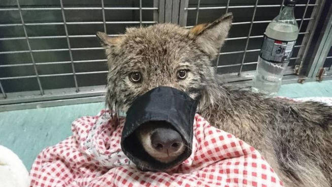 Dog Rescued From An Icy River ... At the Vet They Discover That It Is a Wolf