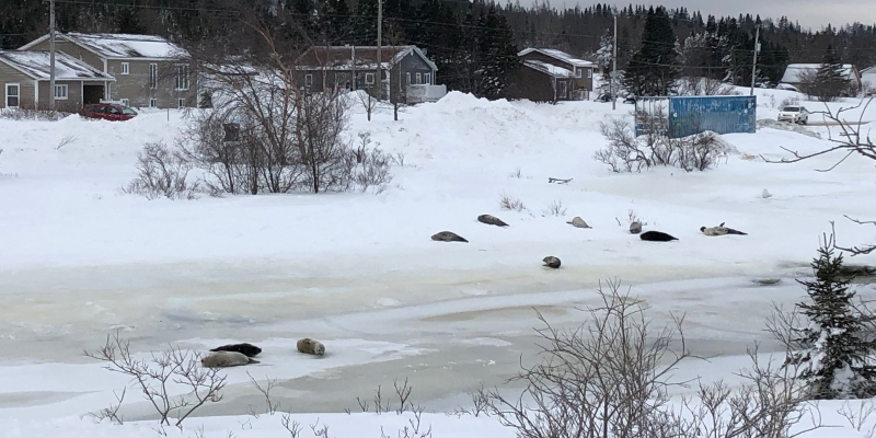 Dozens of Seals Turn Up on Icy Streets in Canada. Here's Why
