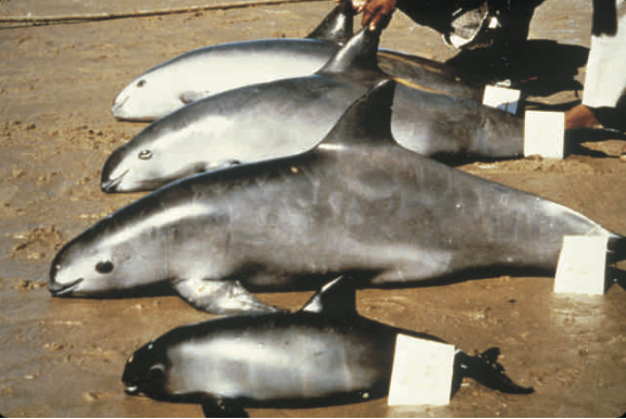 Extinction of Vaquita Marine, Result of a Systematic Neglect