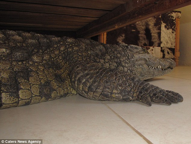 He Looks Under His Bed and Finds a Pregnant Crocodile Looking to Lay Her Eggs