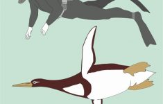 Human-Size Penguin Fossils Discovered