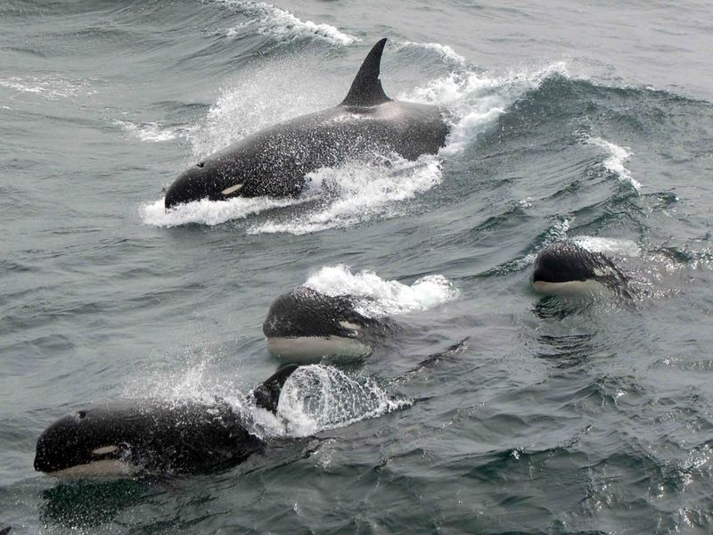 Orcas Have Been found That Could Belong to a New Marine Species