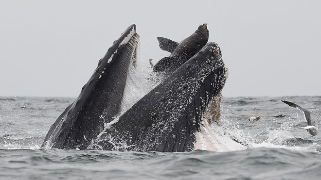 PHOTO: A humpback whale is about to swallow a sea lion