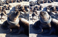 Photos of a Sea Lion that Has a Tire stuck in its Neck Shine Light on Beach Pollution Problem.