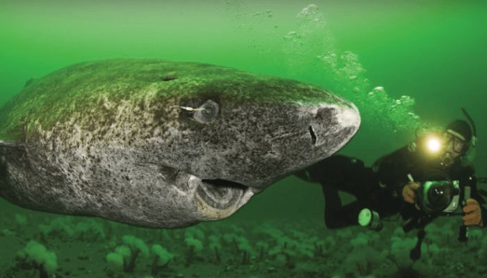 Scientists Discovered a 512-Year-Old Live Shark