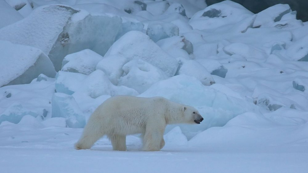 Scientists Predict Catastrophic Future for Marine Fauna and Polar Bears