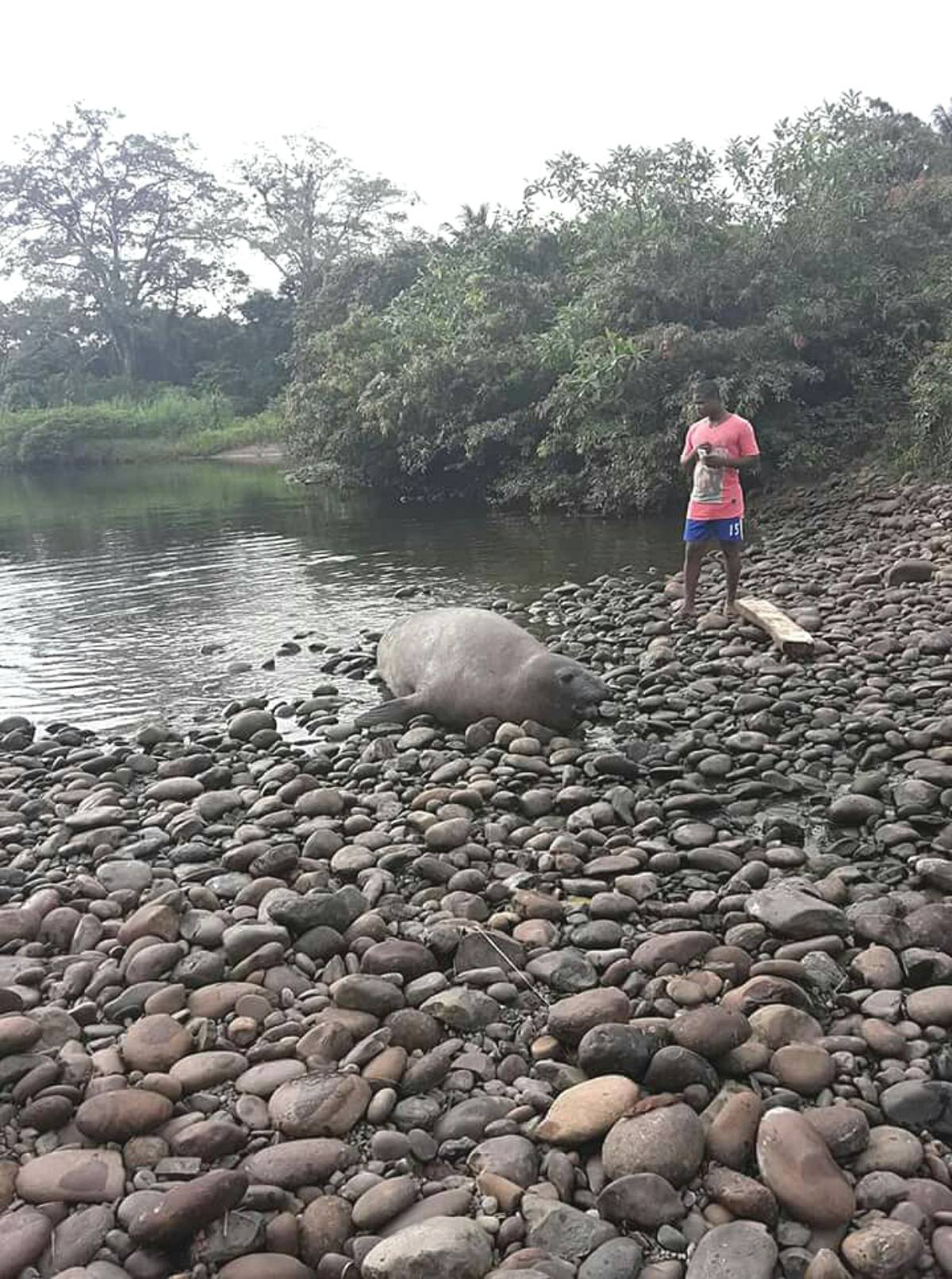 Sea Lion Found in Mataje Does Not Want to Return to the Sea