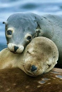 Sealions Orphaned