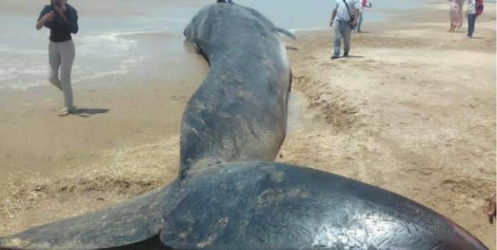 Strange Marine Creature Appears in Caimare Chico Beach