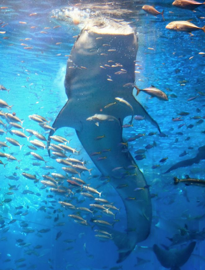 The Amazing Diet of the Enigmatic Whale Shark, the Biggest Fish in the World