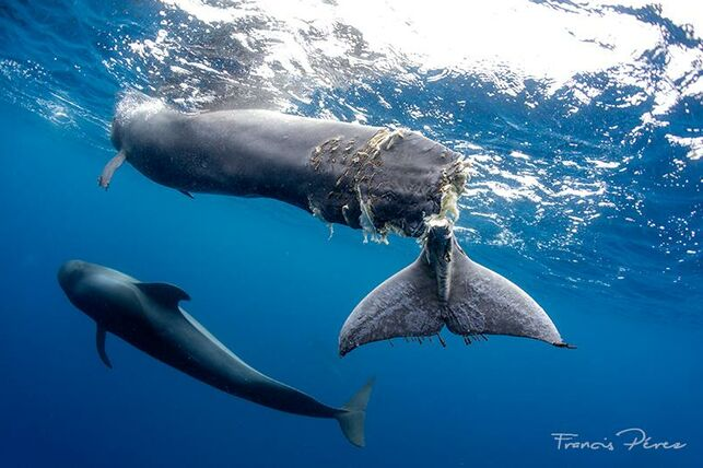 The Heartwrenching Euthanization of a Wounded Whale in the South of Tenerife