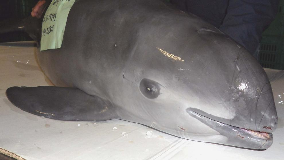 The Holocaust of the Vaquita Marina: Only 10 Copies of this Species Remain