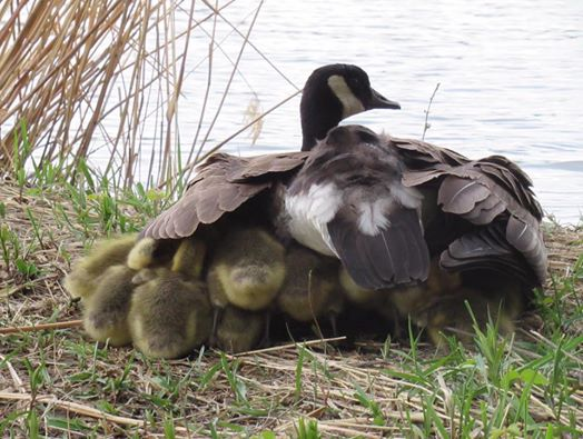 The Viral Story Of The Mother Goose That Takes Care Of Other Chicks And Keeps Them Safe