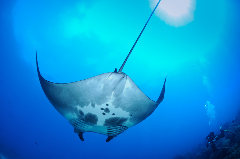 The first manta ray hatchery in the world, discovered in the Gulf of Mexico