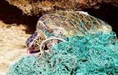 There Is No Sea Turtle That Is Free of the Epidemic of Microplastics