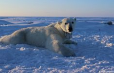 Tired Hungry and Lost Polar Bear Does Not React To Human Presence the Effects of Climate Change  (VIDEO)