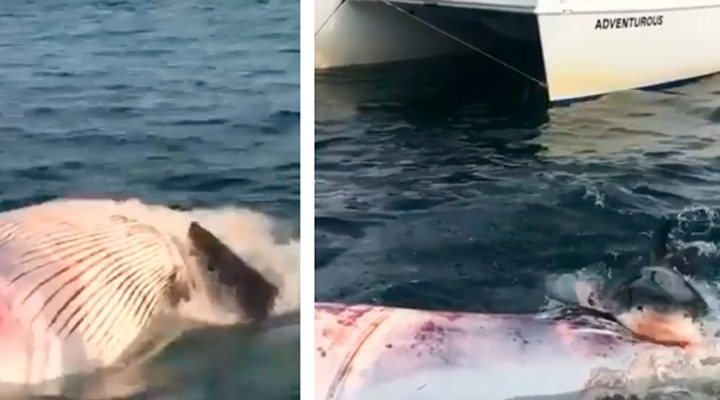 Whale Watching Adventure Turns Into A Horror Thanks To A Couple Of Sharks