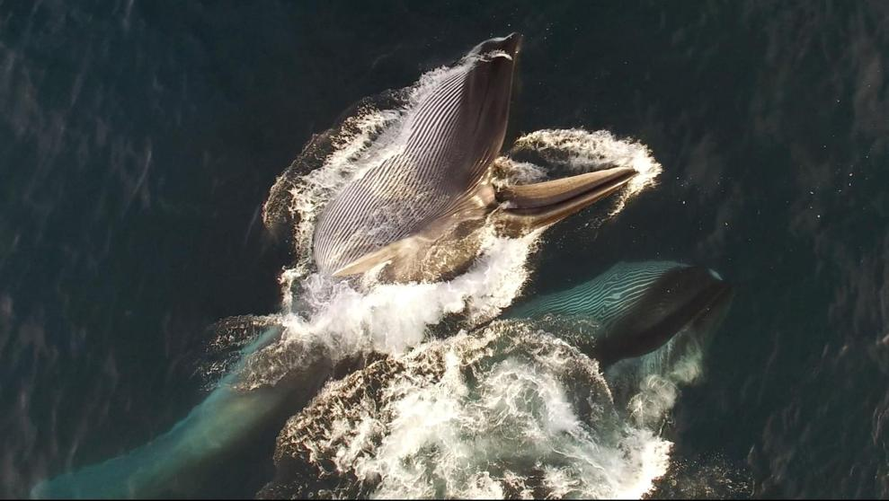 Whales Also Have Wax in Their Ears: Find Out What It Is For