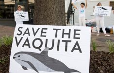 After A 4-Year Ban, They May Allow Shrimp Fishing In The Habitat Of The Vaquita Marina; Too Close For Comfort?