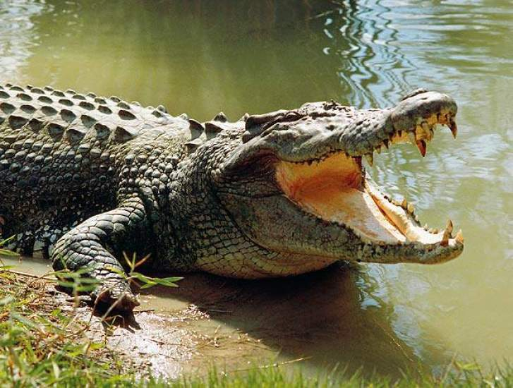 An 11-Year-Old Girl Jumps On A Crocodile And Rips Its Eyes Out To Save Her Friend Who Was In Its Mouth