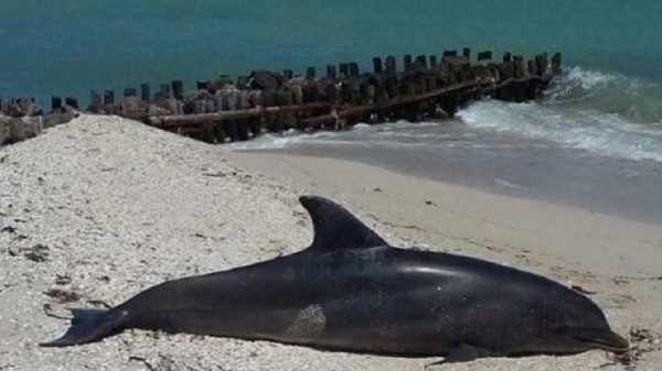 Another Dead Dolphin Found on the Yucatan Coast