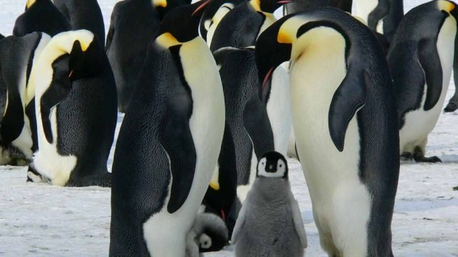 Are there giant penguins?