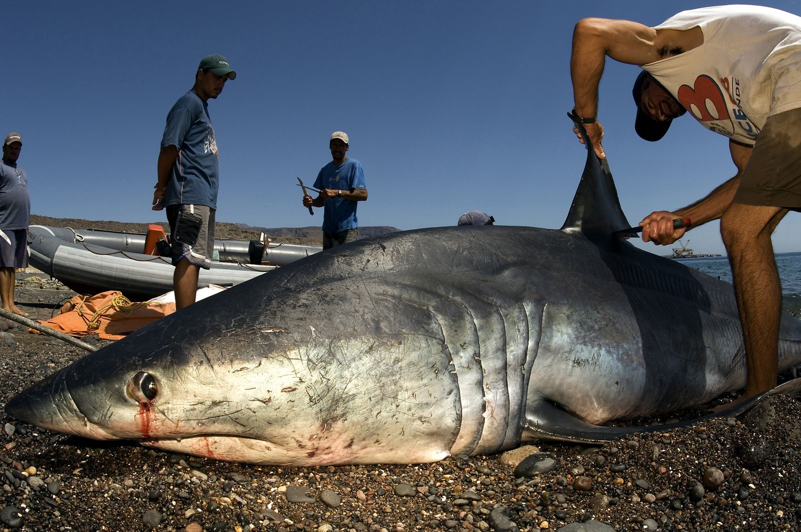 Controversy In Colombia For A Decree That Allows Shark Hunting To Market Its Fins