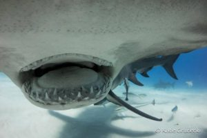 Diver approaches hammerhead shark and photographs his jaws for the first time