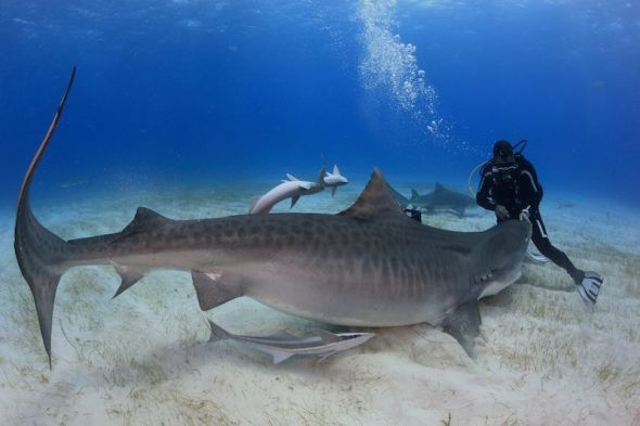 Diving With Sharks To Alert of Their Danger of Extinction