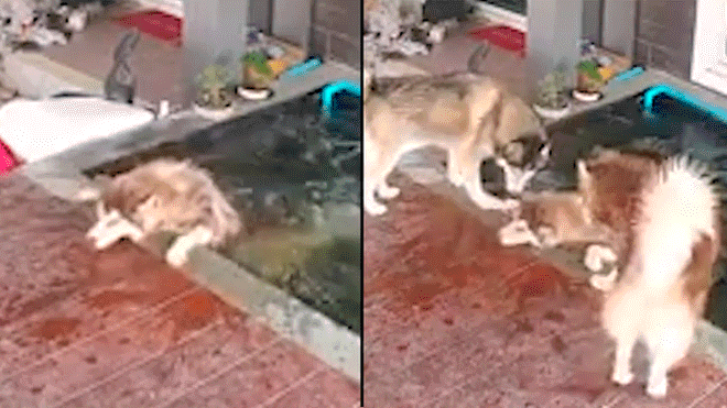 Dog Struggles to Get Out of Fish Pond and his Friends Ask for Help to Rescue Him