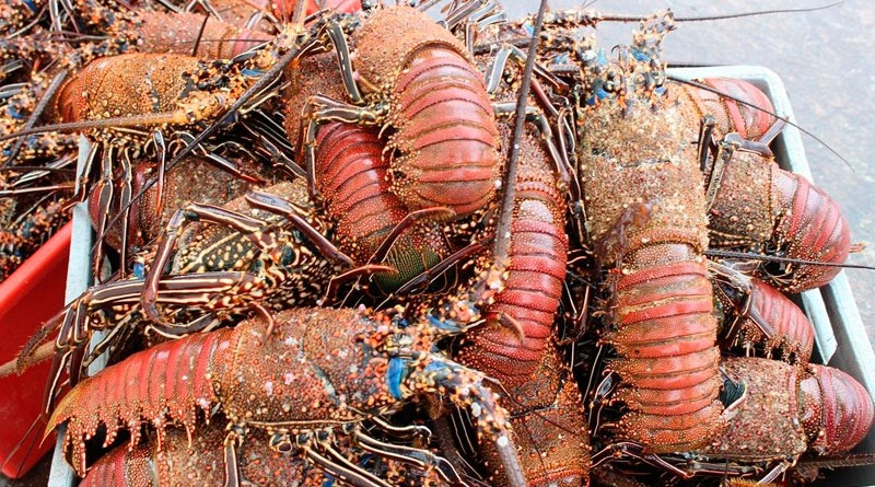 Galapagos Islands: They Capture 232 Tons Of Spiny Lobster