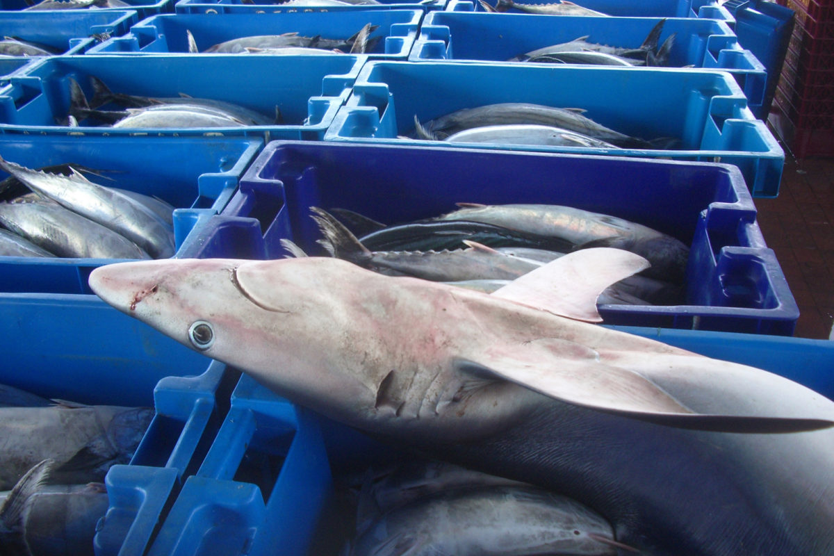 Government Approves Shark Fishing In Colombia By 2020
