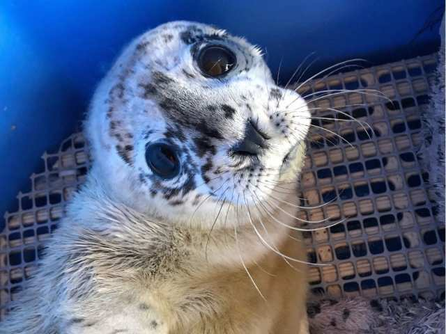 """Harbour Seal a.k.a Dwayne """"The Rockfish"""" Johnson Born Premature And Abandoned Has Been Rescued"""