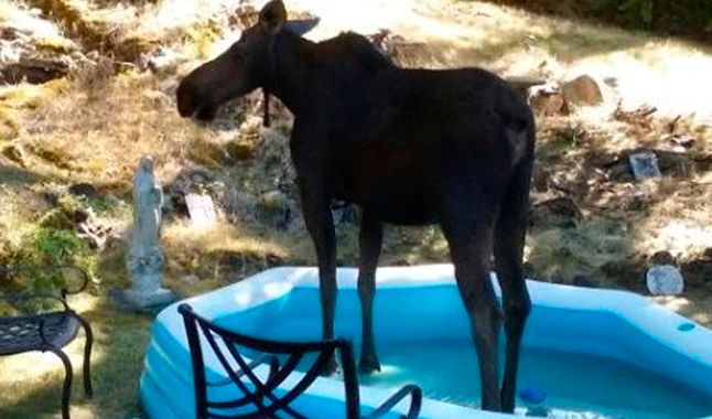 He Looks Out His Window And Discovers An Uninvited Guest Chilling In His Kids Pool