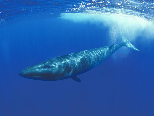 Human Behaviour Threatens Three Species Of Whales By Putting Their Existence In Danger