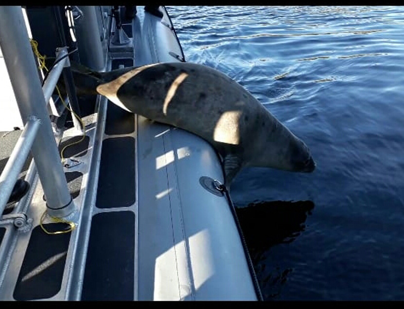 In the Harbor of Swans Sector, They Rescue a Baby Elephant Seal