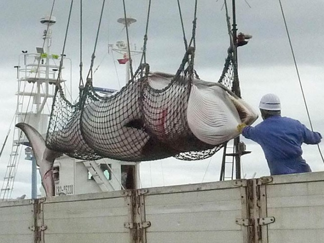 Japanese Kill 122 Pregnant Whales in Antarctica