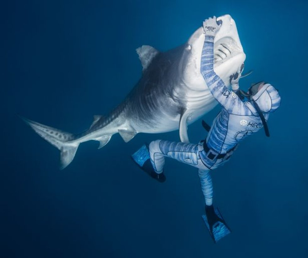 Polynesian Sharks Mouth By Cameron Rutten: Man Manages To Calm A Giant Shark With Just A Touch Of His