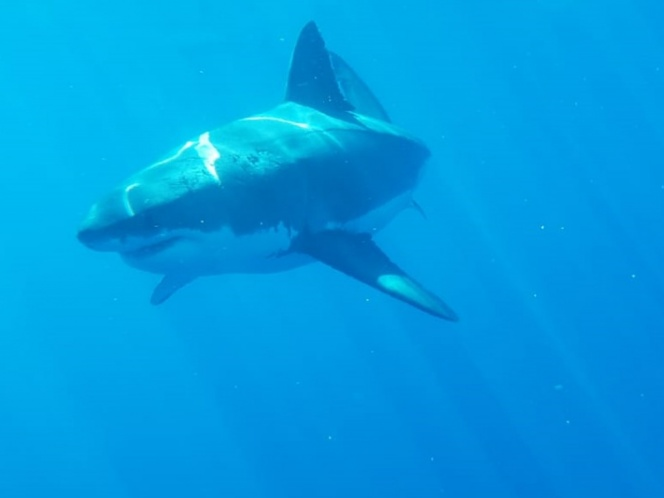 Myths and Realities of the White Shark; Stigmatized Species