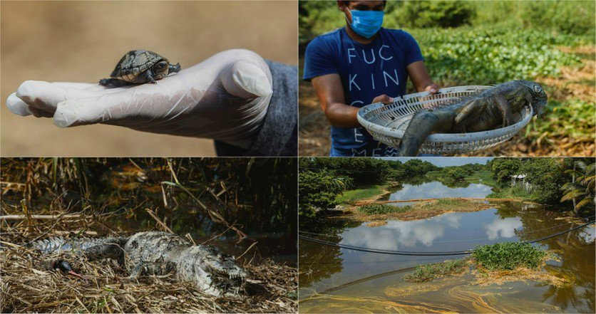Oil Ecocide in Mexico Kills Dozens of Species