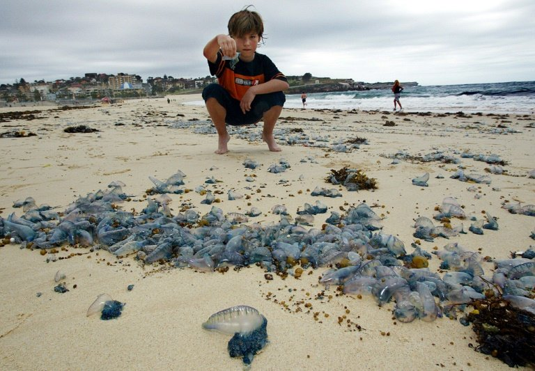 POISONOUS JELLYFISH STING MORE THAN 3 THOUSAND PEOPLE IN AUSTRALIA