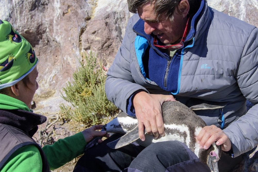 Penguin the passion to protect a threatened bird in the south