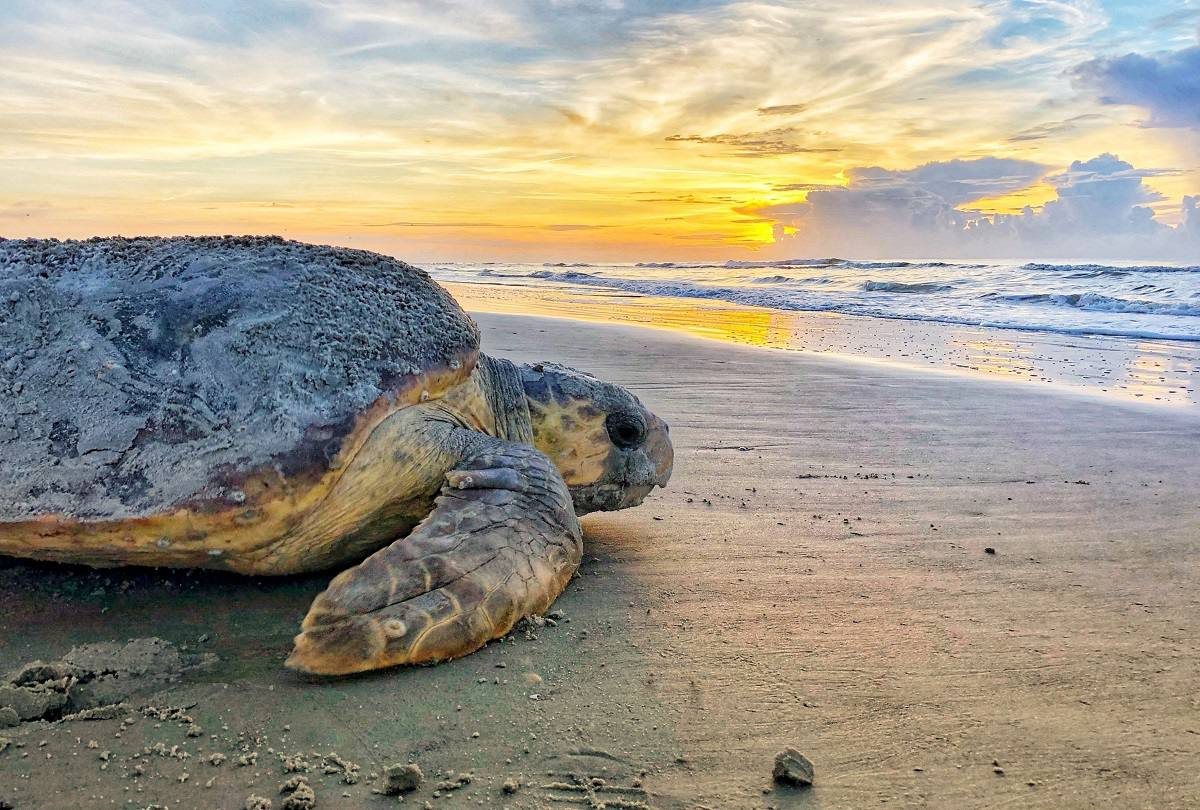Rare Species Of Marine Turtle Marks A Record Of Nesting In Beaches Of The United States