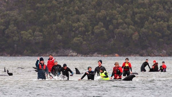 Rescuers fight to save nearly 200 stranded whales in Australia