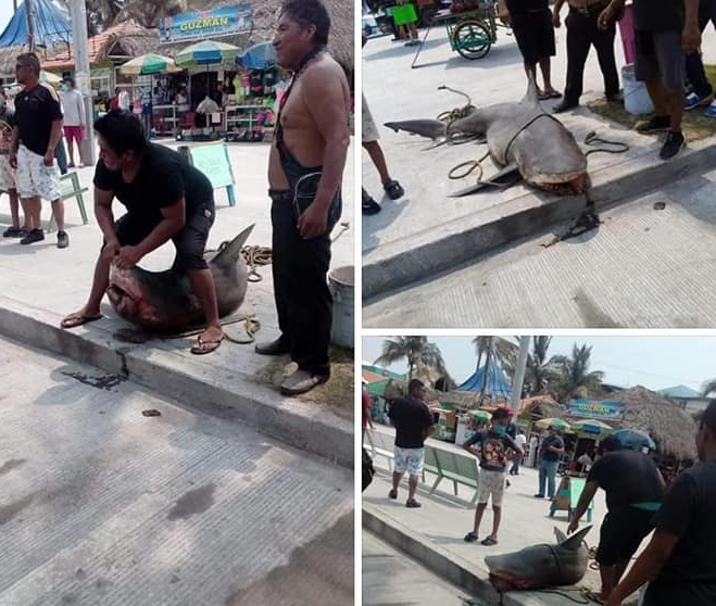Shark Caught In Mexico Is Exhibited And Mocked In Nets